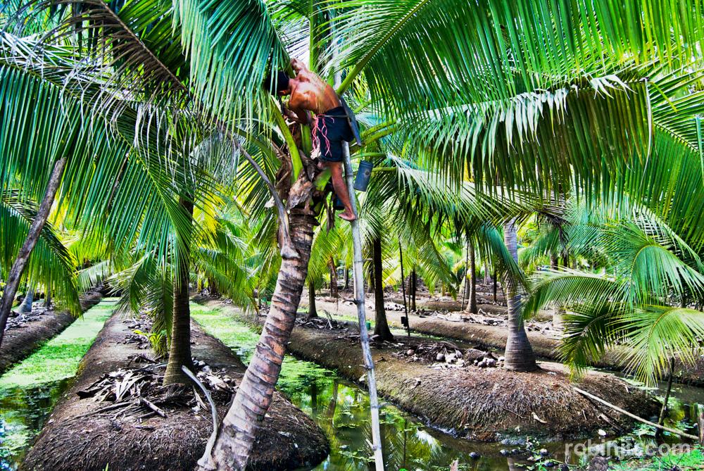 Plantación de coco en Tailandia