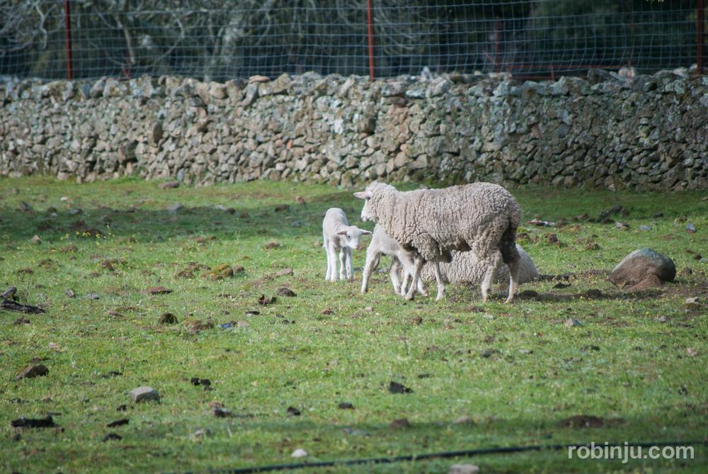 Dehesa de Extremadura, la naturaleza transformada del Ibérico